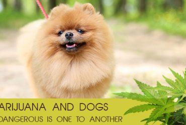 Marijuana-and-Dogs