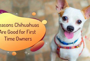 Chihuahuas Are Good